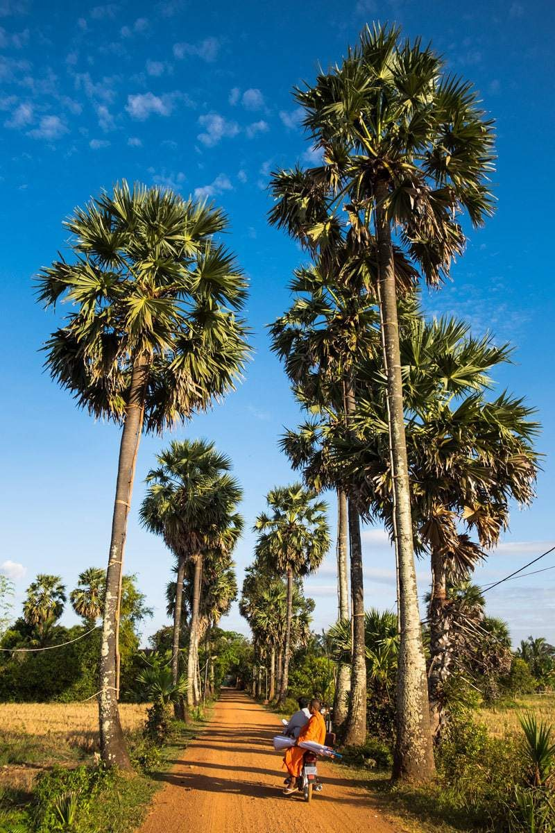 Buddhist monk leaves the temple, by bike on a dirt road with palm trees. Kampot, Cambodia.