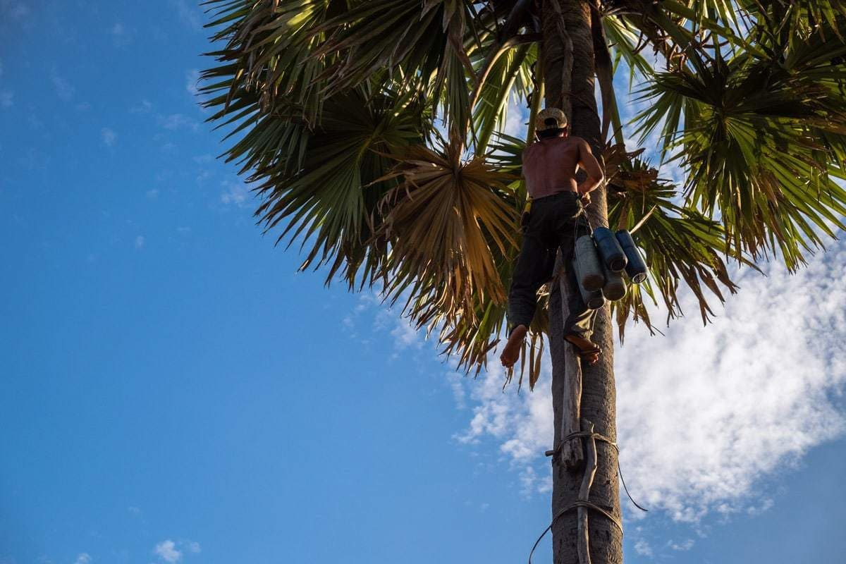 Khmer farmer climbs to the top of a palm tree to attach the tubes to collect the sap from the flower