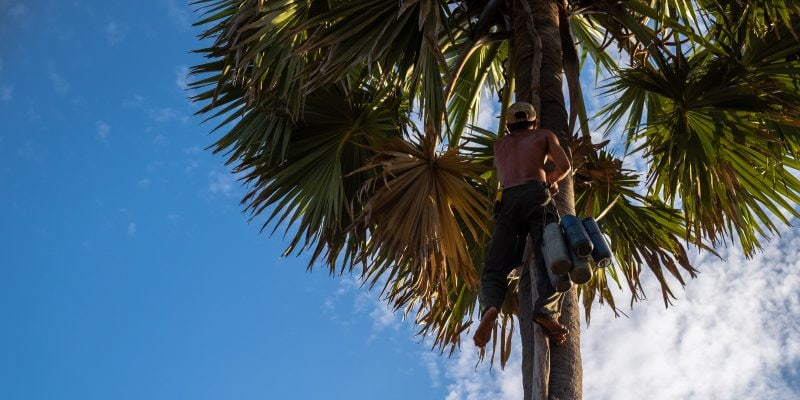How palm sugar is made. Khmer farmer climbs to the top of a palm tree to attach the tubes to collect the sap from the flower.