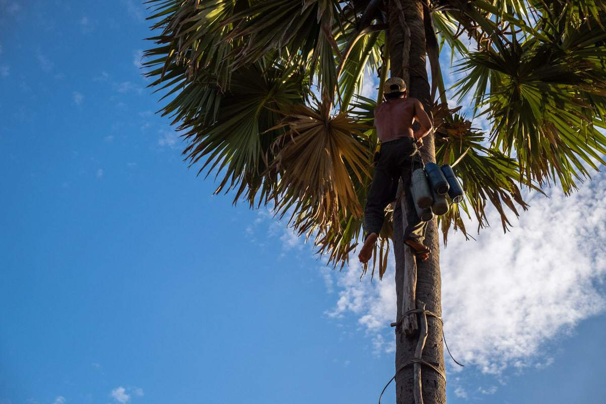 How palm sugar is made. Khmer farmer climbs to the top of a palm tree to attach the tubes to collect the sap from the flower to eventually make palm sugar. Cambodia.