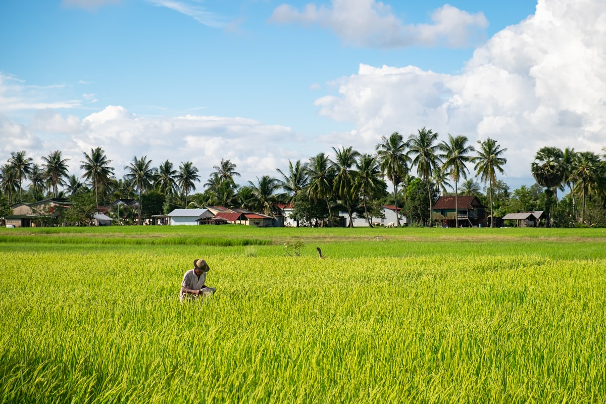 Cambodian farmer in a rice field. Kampot, Cambodia.