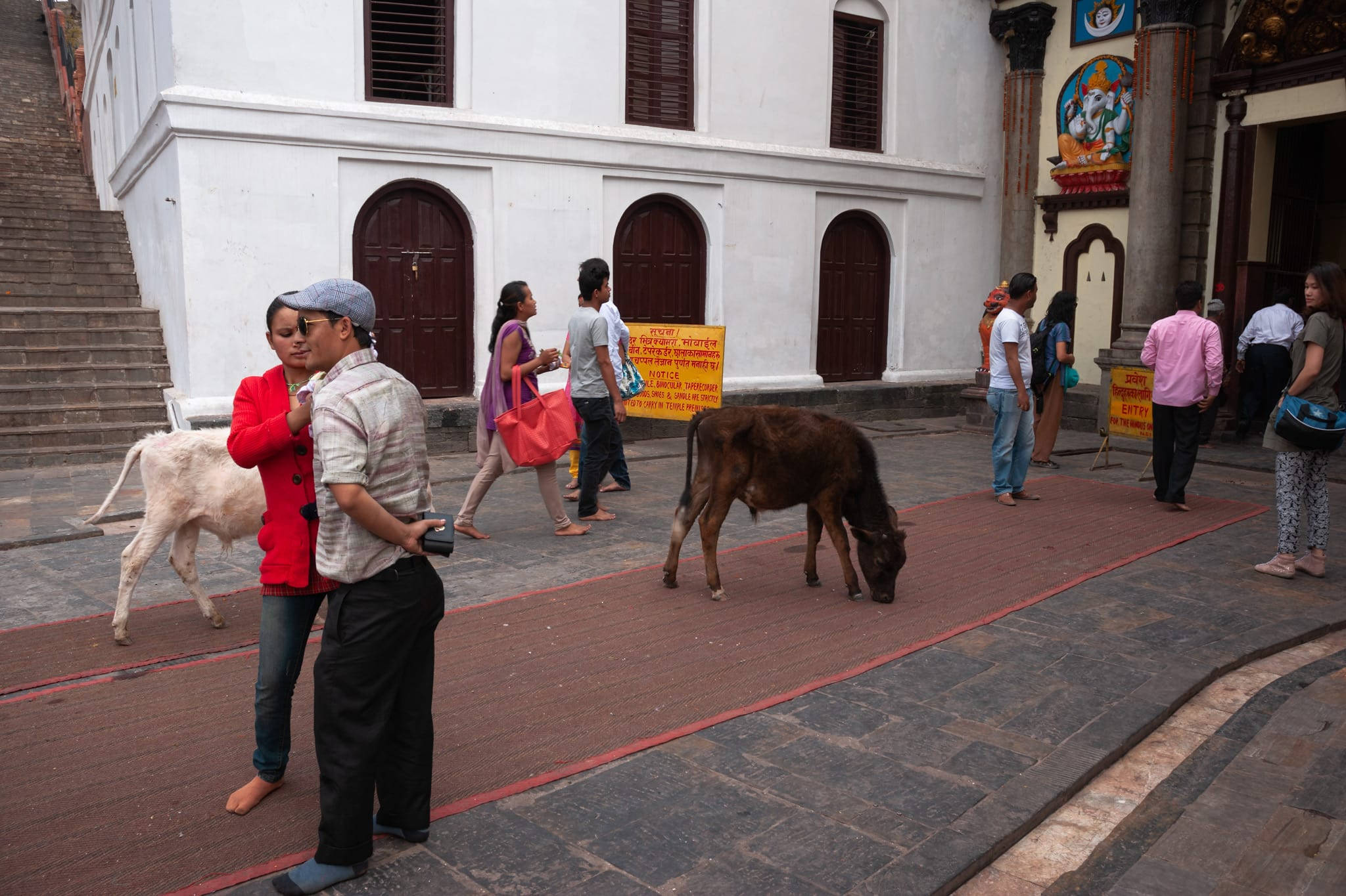 Nepali people surrounded by cows get ready to enter the Pashupatinath Temple in Kathmandu, Nepal.