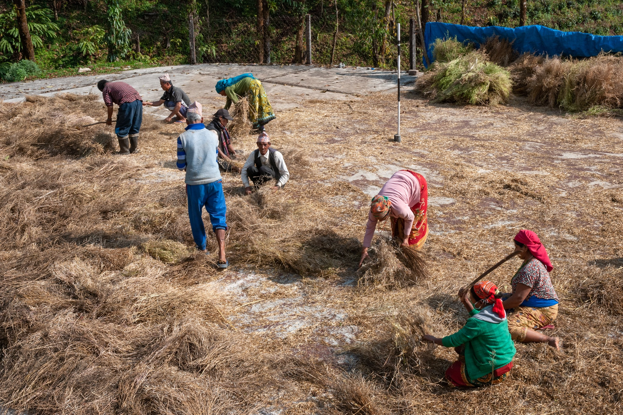 Nepalese farmers hand thresh to separate the loosened chaff from the grain at the Regional Agricultural Research Station. Lumle Kaski, Nepal.